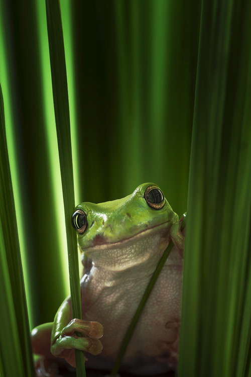 Art Print on Demand Green Frog