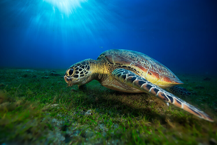 Art Print on Demand Green turtle