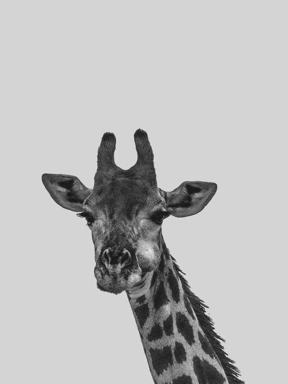 Art Print on Demand Grey giraff