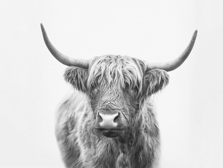Art Print on Demand Highland bull