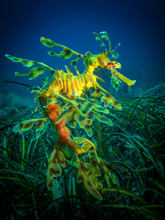 Art Print on Demand Leafy Sea Dragon - male with eggs