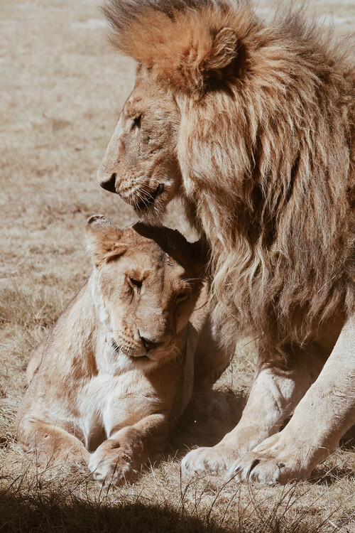 Art Print on Demand Lion couple