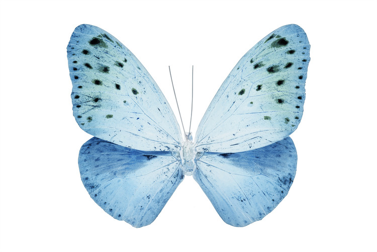 Art Print on Demand MISS BUTTERFLY EUPLOEA - X-RAY White Edition
