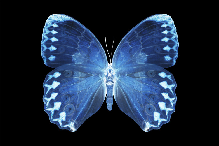 Art Print on Demand MISS BUTTERFLY FORMOSANA - X-RAY Black Edition