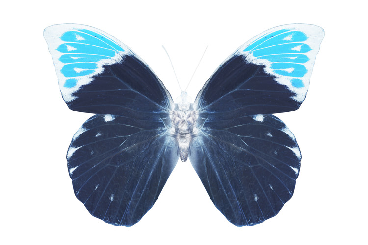 Art Print on Demand MISS BUTTERFLY HEBOMOIA - X-RAY White Edition