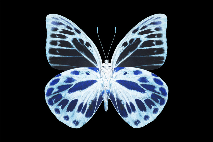 Art Print on Demand MISS BUTTERFLY PRIONERIS - X-RAY Black Edition