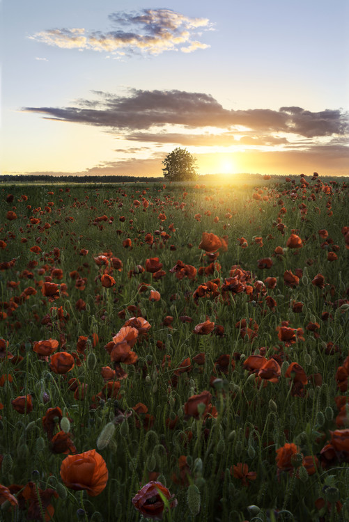 Art Print on Demand Poppy fields of Sweden
