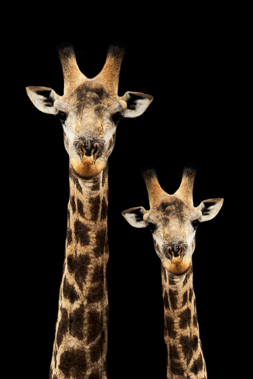 Art Print on Demand Portrait of Giraffe and Baby Black Edition