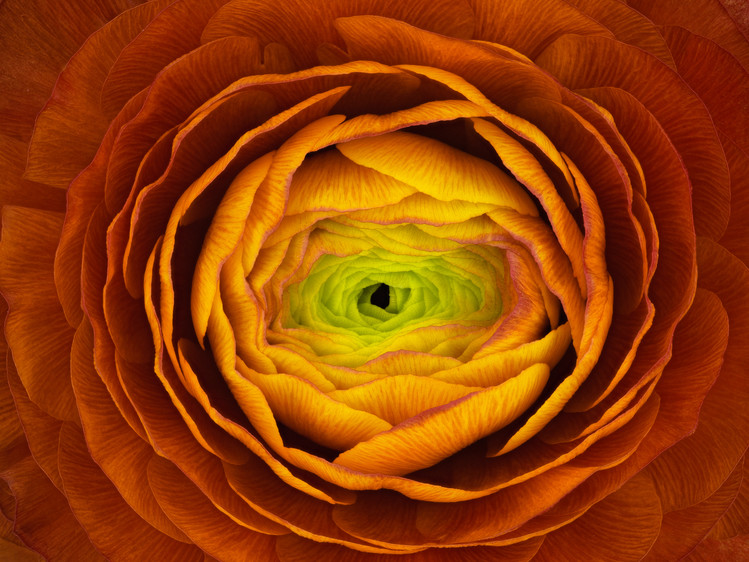 Art Print on Demand Ranunculus asiaticus