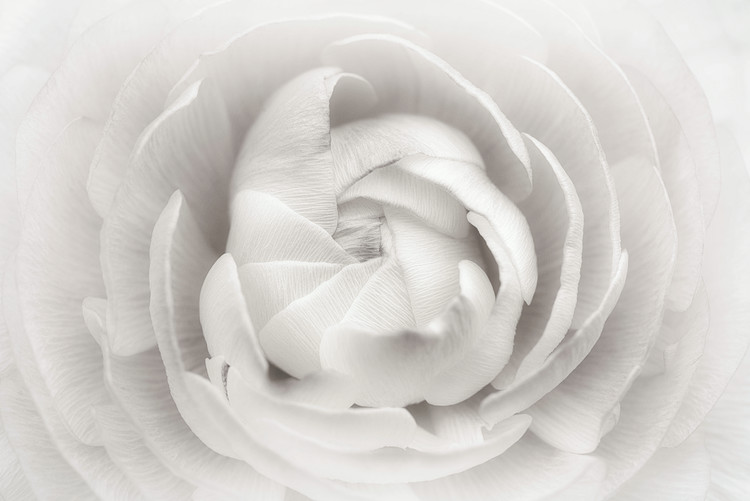 Art Print on Demand Ranunculus