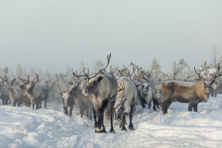 Art Print on Demand Reindeers