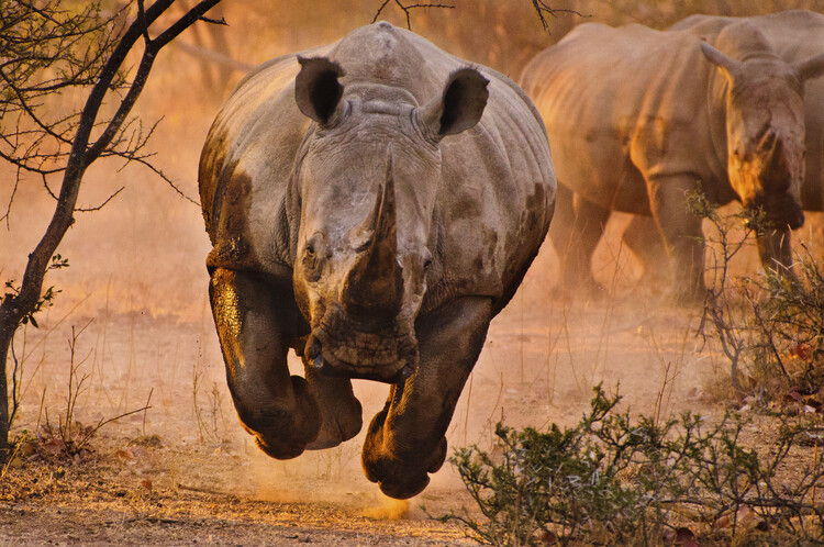 Art Print on Demand Rhino learning to fly