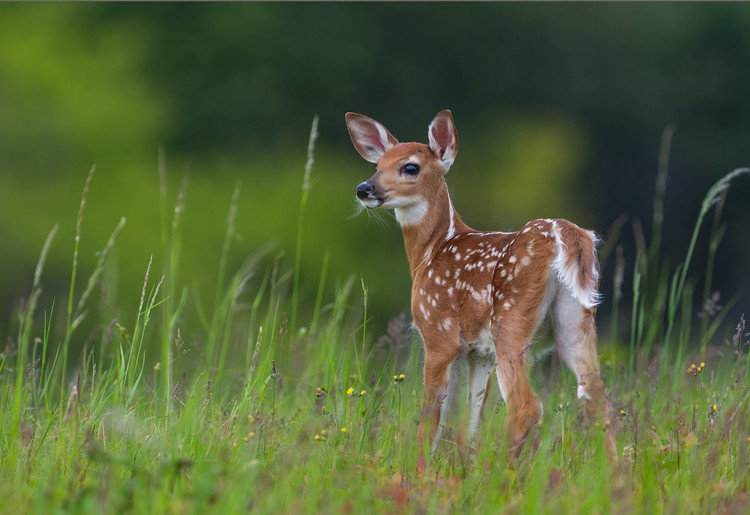 Art Print on Demand Spring Fawn