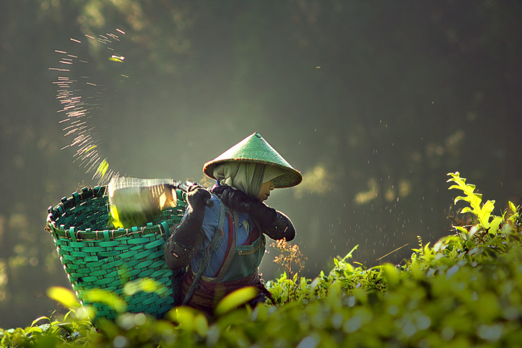 Art Print on Demand tea pickers