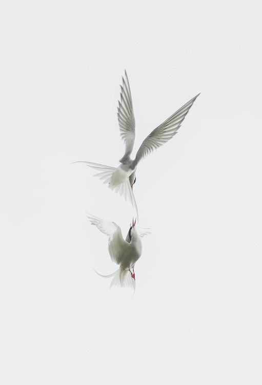 Art Print on Demand Tern