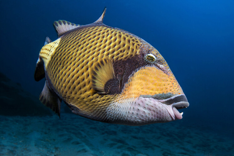 Art Print on Demand Triggerfish