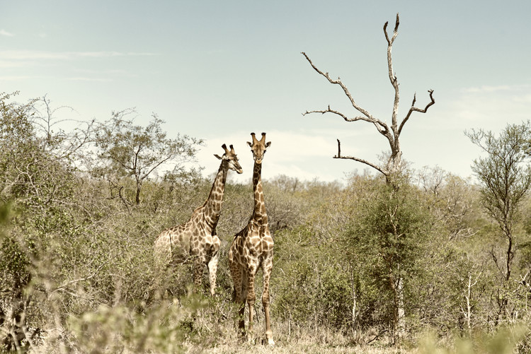 Art Print on Demand Two Giraffes