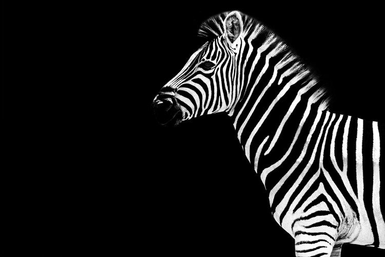 Art Print on Demand Zebra Black Edition