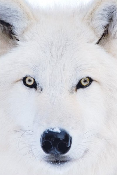 Poster Arctic wolf