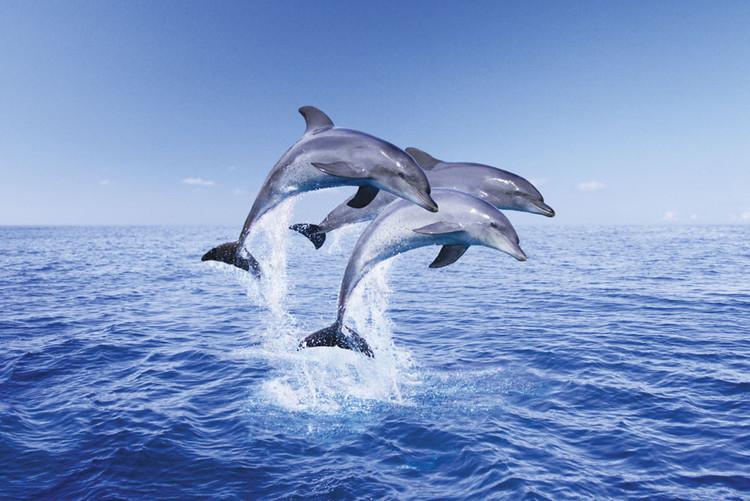 Delfíni trio Poster, Art Print
