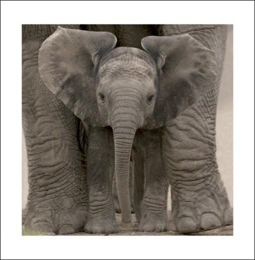 Elephant - Baby Art Print