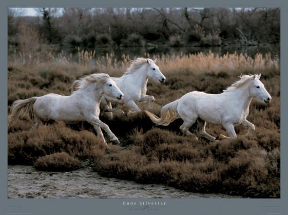 Equus 3 - Camargue - France Art Print