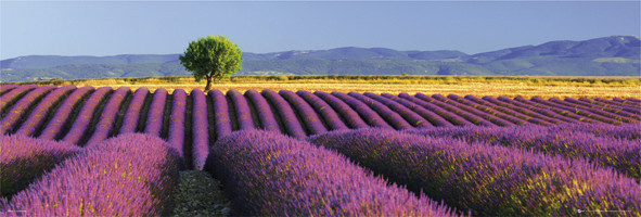 Flowers – lavender field Poster
