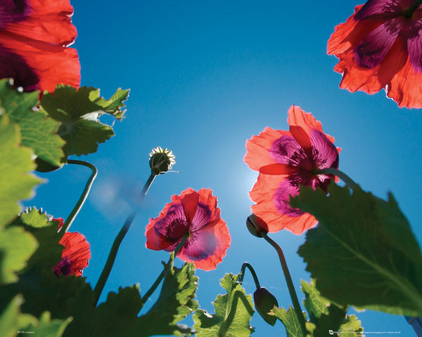 Flowers - Poppies Poster
