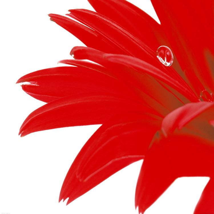 Gerbera Rouge Art Print