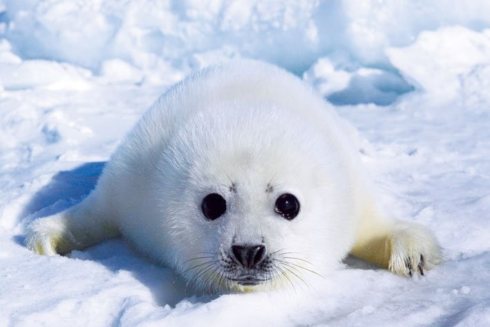 harp seal pup poster sold at europosters