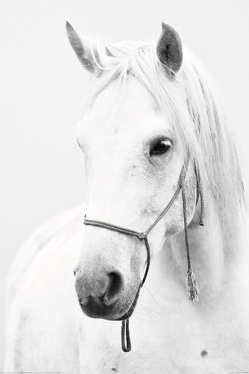 Poster Horse - White Horse