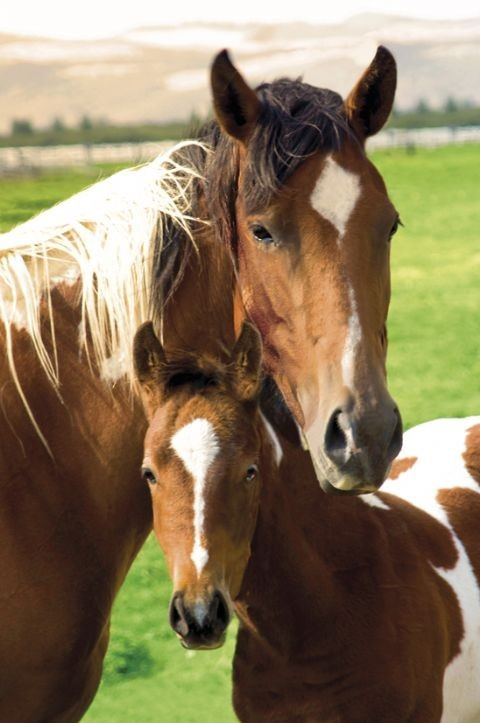 Poster  Horses - mare and foal