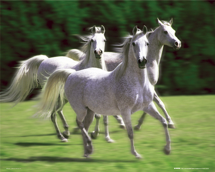 Pôster Horses - white stallions