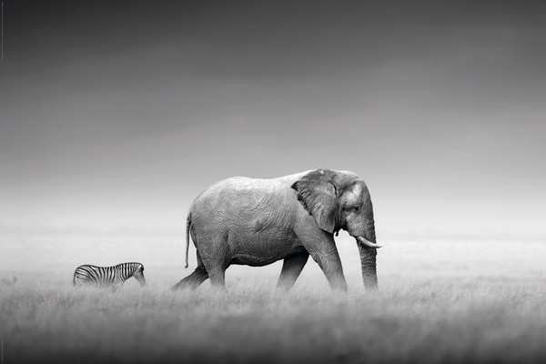 Kings of nature elephant and zebra poster