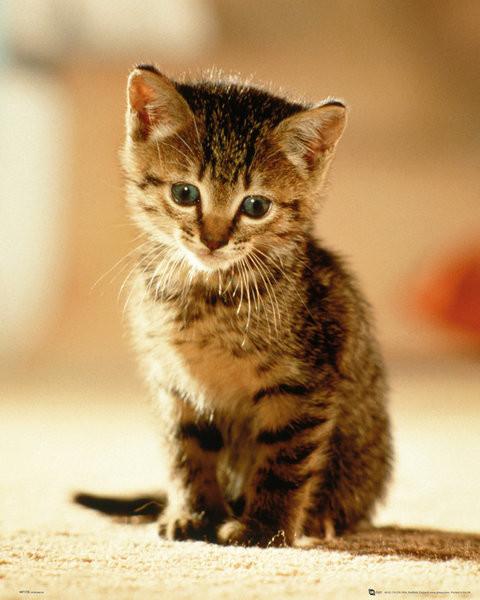 Kitten - Sitting Poster, Art Print