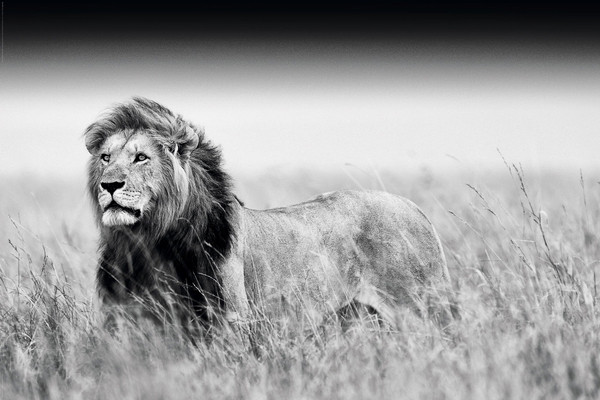lion black white poster sold at abposters com
