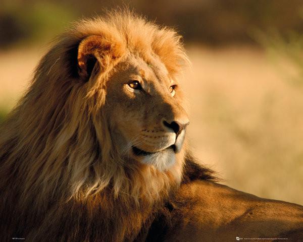 Poster quadro lion sunset em europosters.pt