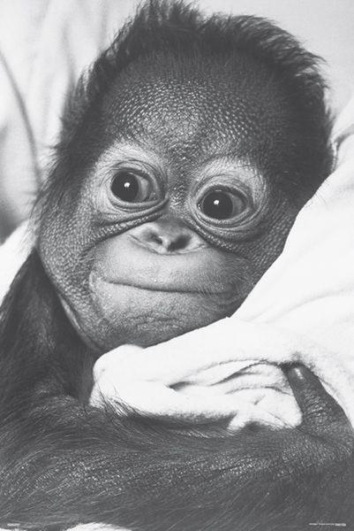 monkey orangutan baby poster