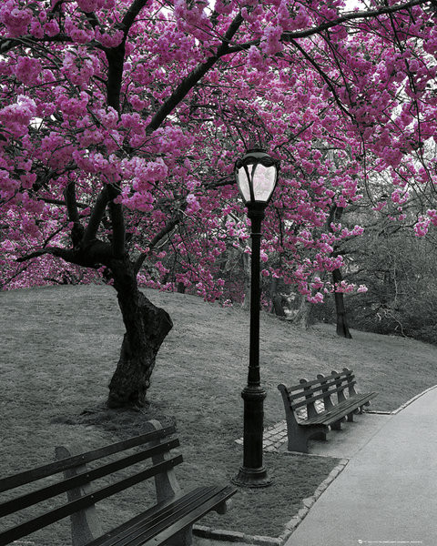 New York - Pink Blossom Poster, Art Print