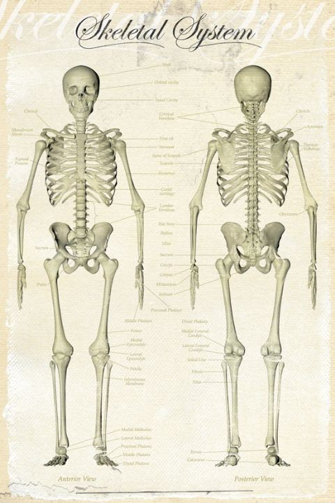 Skeletal System Poster Sold At Europosters