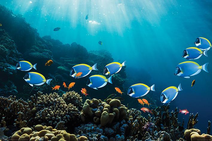 Poster Surgeonfish & Goldies