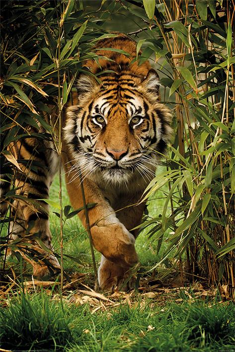 Tiger - Bamboo Poster
