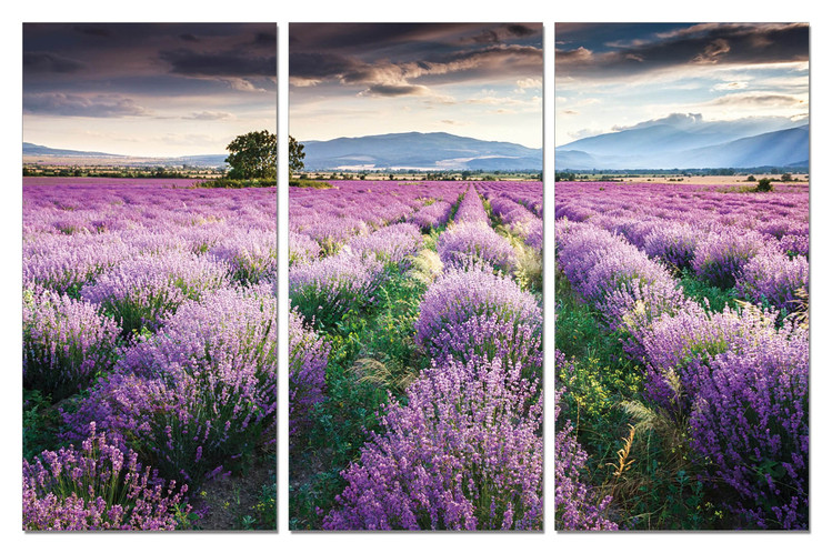 Lavender - Field in Blossom Mounted Art Print