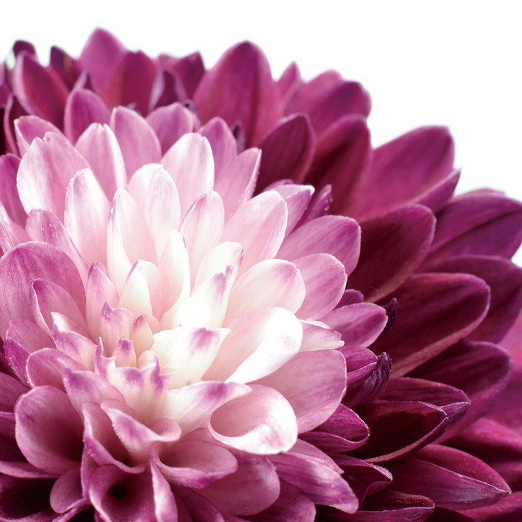 Quadro em vidro Flowers - Purple Gerbera