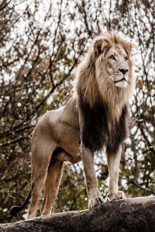 Quadro em vidro Lion - King of Animals