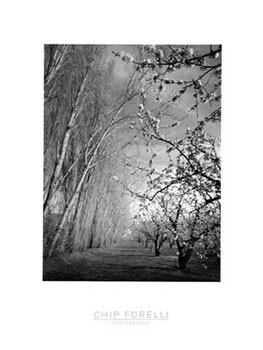 Reprodução do quadro Cherry Blossoms