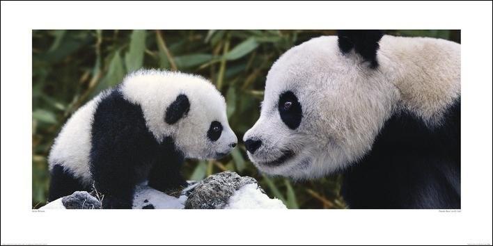 Reprodução do quadro Panda - Steve Bloom