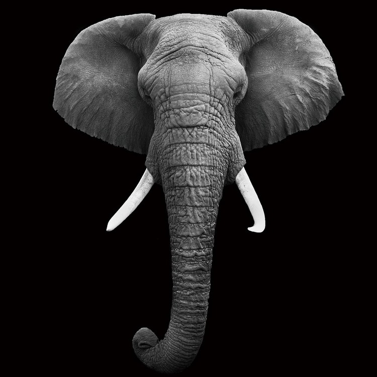 Tableau sur verre Elephant - Head b&w