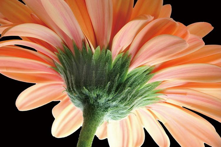 Tableau sur verre Gerbera - Orange