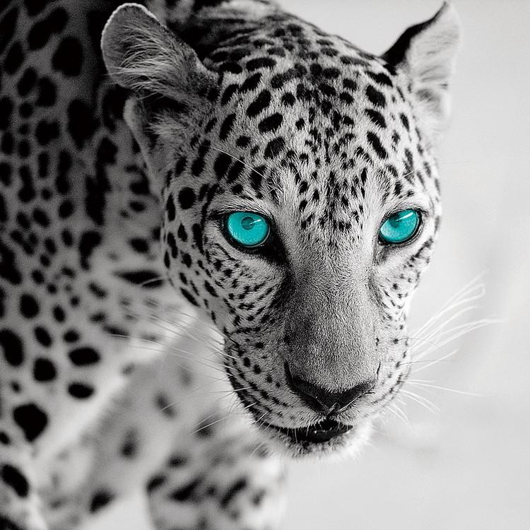 Tableau sur verre Leopard b&w